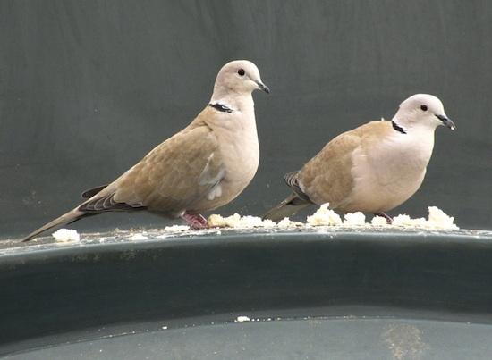 Cal Schwartz Doves