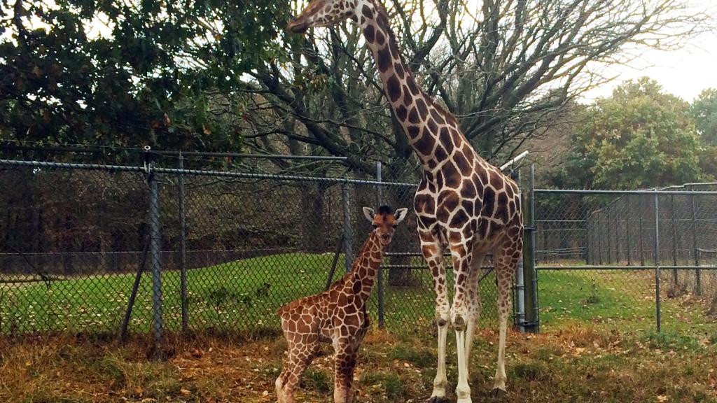 Six Flags Safarai Baby Giraffe