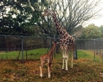 Six Flags Safarai Baby Giraffe