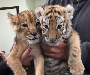 Six Flags Safari NJ new lion cubs